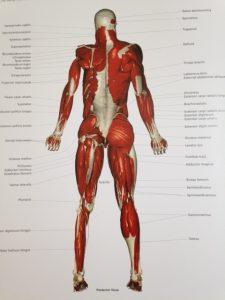 人体 筋肉