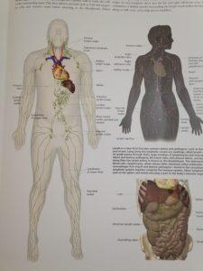 人体 リンパ