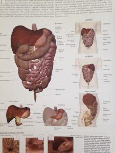 人体 内臓